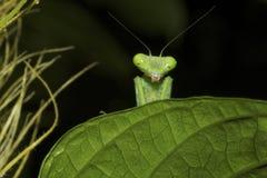 螳螂-捉迷藏 免版税库存图片