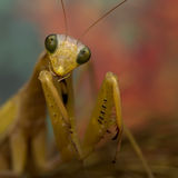 螳螂画象  免版税库存照片