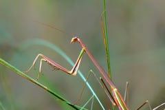 螳螂 免版税库存照片