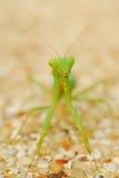 螳螂 免版税库存图片