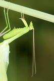 螳螂 免版税图库摄影
