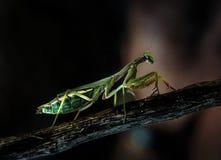 螳螂 图库摄影