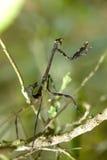 螳螂Mantodea 库存照片