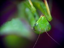 螳螂religiosa 图库摄影