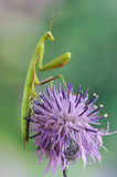螳螂religiosa 库存图片