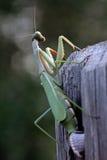 螳螂religiosa 免版税图库摄影