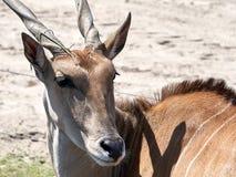 螺丝垫铁的非洲羚羊关闭 免版税库存图片