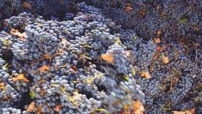 螺旋式前进在葡萄酒酿造的压碎器destemmer用加伯奈葡萄酒葡萄 影视素材