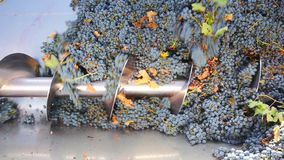 螺旋式前进在葡萄酒酿造的压碎器destemmer用加伯奈葡萄酒葡萄 股票录像