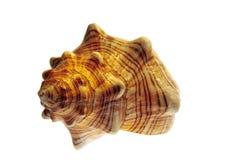 螺旋查出的贝壳 免版税图库摄影