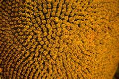 螺旋样式在整洁地显示与安排的向日葵关闭的中心美好的纹理 免版税库存图片