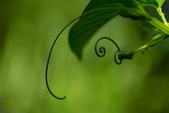 螺旋绿色叶子 免版税库存照片