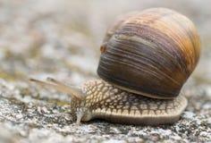 螺旋Pomatia侧视图 库存图片