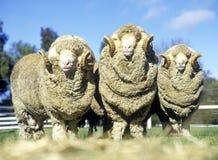 螺柱美利奴绵羊公羊 图库摄影