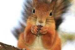 螺母灰鼠 免版税图库摄影