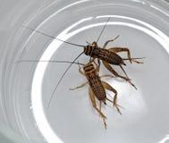 蟋蟀二 免版税库存图片