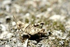 蟋蟀伪装 库存图片
