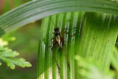 蟋蟀在庭院里 库存照片