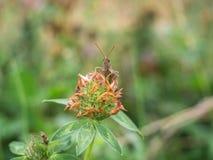 蟋蟀坐三叶草 库存照片