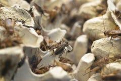 蟋蟀批次 图库摄影