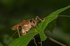 蟋蟀昆虫-家庭Anostostomatidae 免版税库存照片