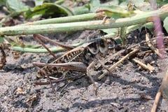 蟋蟀昆虫 免版税库存照片
