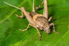 蟋蟀昆虫 库存照片
