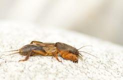 蟋蟀痣 图库摄影