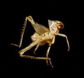 蟋蟀皮肤 库存图片