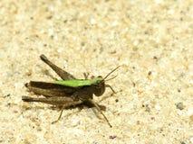 蟋蟀绿色 免版税图库摄影