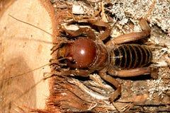 蟋蟀耶路撒冷 免版税库存照片