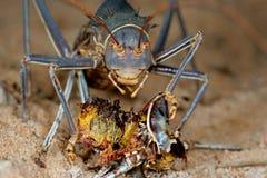 蟋蟀陆运 库存照片
