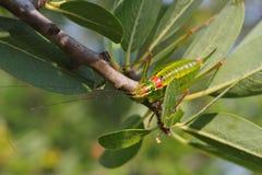 蟋蟀绿色 库存照片