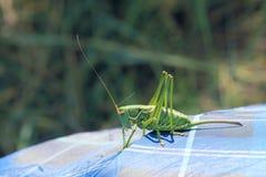 蟋蟀绿色 免版税库存图片