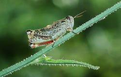 蟋蟀绿色 免版税库存照片