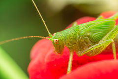 蟋蟀 库存图片