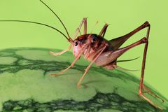 蟋蟀 免版税库存图片