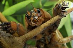 蟋蟀gryllotalpa痣 图库摄影