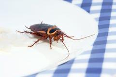 蟑螂午餐 图库摄影