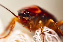 蟑螂宏指令,蟑螂头关闭 免版税库存图片