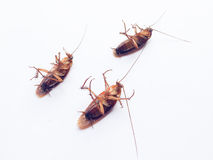 蟑螂是死的在白色背景 免版税库存照片