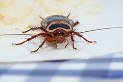 蟑螂晚饭 库存图片