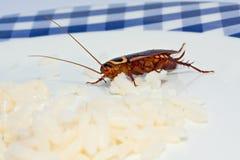 蟑螂烹调 免版税库存照片