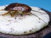 蟑螂的关闭吃着曲奇饼,蓝色背景词的白色奶油 蟑螂是dise的载体 免版税库存图片