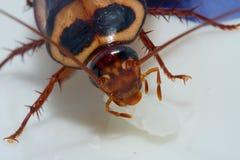 蟑螂赴宴 图库摄影