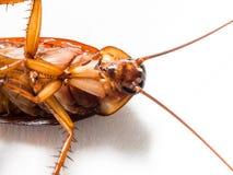 蟑螂运载您必须消灭的疾病 免版税图库摄影