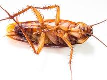蟑螂运载您必须消灭的疾病 免版税库存照片