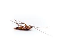 蟑螂运载您必须消灭的疾病 免版税库存图片