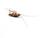 蟑螂运载您必须消灭的疾病 库存照片