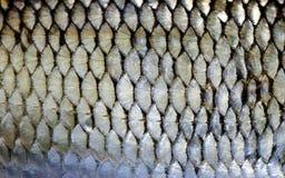 蟑螂鱼鳞皮肤宏指令视图 照片欧洲雅罗鱼鳞状织地不很细样式 选择聚焦,浅深度领域 免版税库存照片